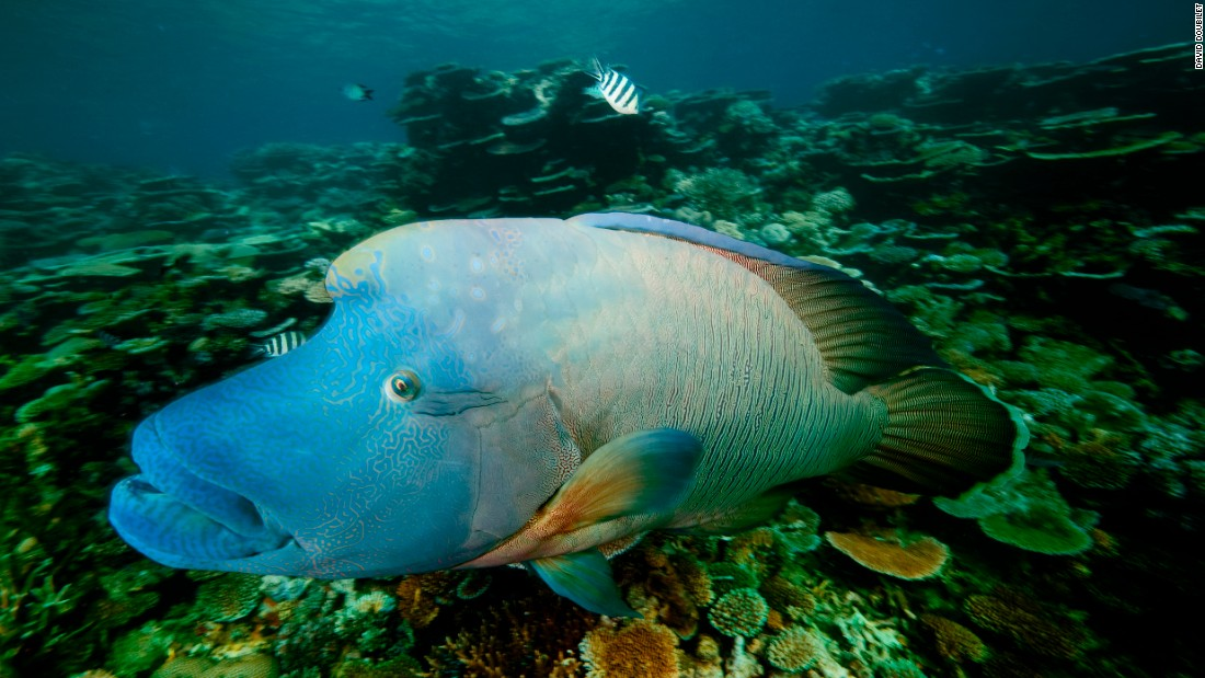 A Maori, or humphead, wrasse  watches us with curiosity as we explore his home reef on the central Great Barrier Reef.