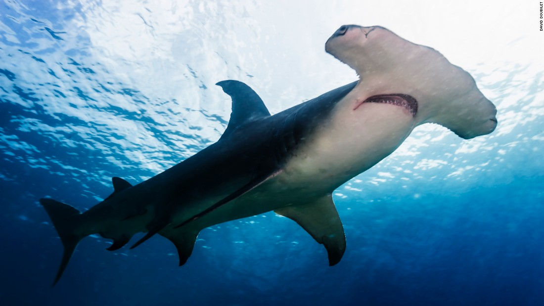 A hammerhead shark patrols the steep drop off at Great Detached Reef on the Northern Great Barrier Reef. <br />