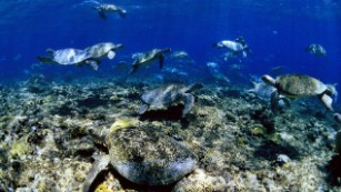 Green sea turtles moved like shifting underwater clouds as thousands of females waited for the cover of nightfall to leave the water and lay their eggs on Raine Island.
