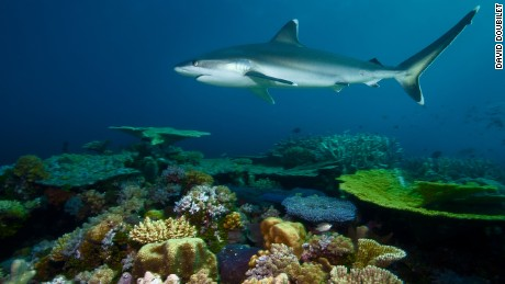 A silvertip shark patrols Great Detached Reef looking a meal.