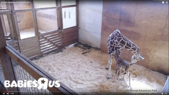 April the giraffe had her new calf that was born on April 15.