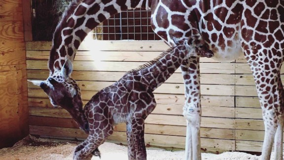 April the giraffe and her newborn calf bond with each other Saturday at Animal Adventure Park.