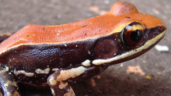 A Hydrophylax bahuvistara frog in its native environment in southern India.