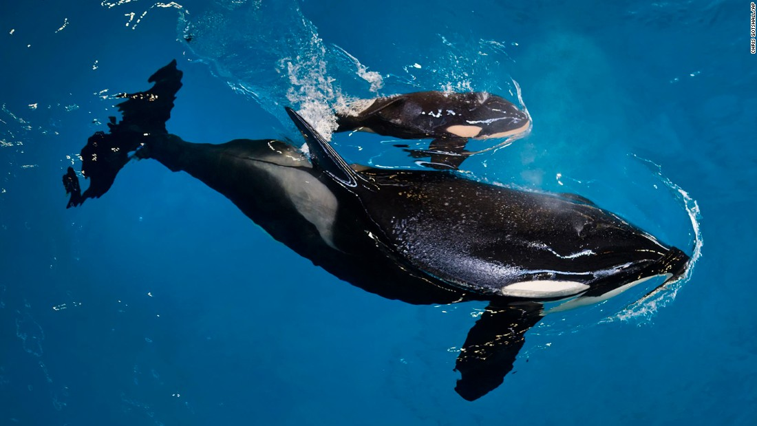 "Takara, an orca whale, helps guide her newborn to the water's surface at SeaWorld in San Antonio on Wednesday, April 19. <a href=""http://www.cnn.com/2017/04/20/us/sea-world-killer-whale-born-trnd/"" target=""_blank"">The newborn killer whale calf</a> is the last one birthed in captivity at the company's marine parks."