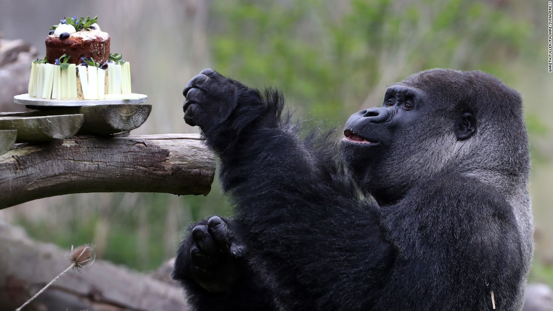 Ambam, the largest silverback gorilla at Port Lympne Wild Animal Park in Kent, England, enjoys some carrot cake topped with hard-boiled eggs in celebration of his 27th birthday on Friday, April 14.