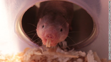 A study found that naked mole-rats can switch to a metabolic system that doesn't require oxygen.