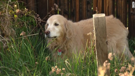 Chance, a 10-year-old golden retriever, rides out her buzz after consuming edible marijuana in Colorado - a potentially dangerous condition for pets