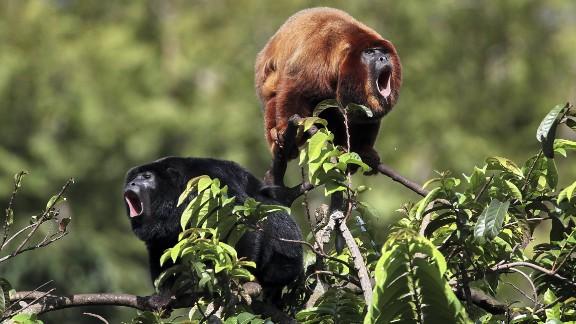 Rothandbruellaffe, Rothand-Bruellaffe (Alouatta belzebul), sitzen auf einem Busch und bruellen, Brasilien, Para | Black and red howler, Red-handed Howler Monkey  (Alouatta belzebul), sitting on a bush roaring, Brazil, Para (Newscom TagID: dpacreative612428.jpg) [Photo via Newscom]
