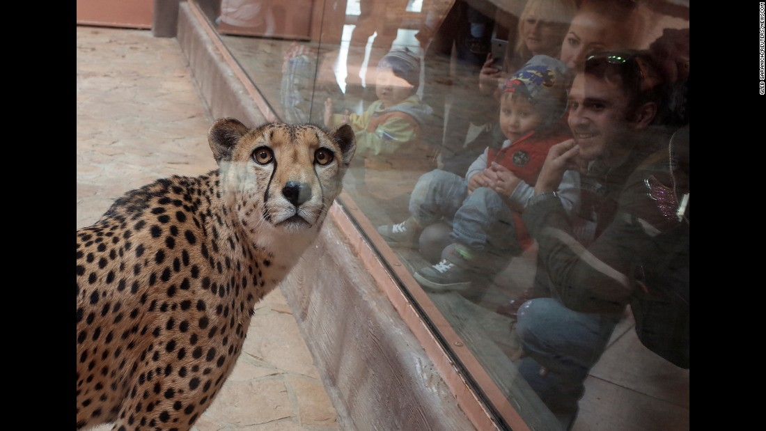 Visitors look at a cheetah at a zoo in Demydiv, Ukraine, on Tuesday, May 2.