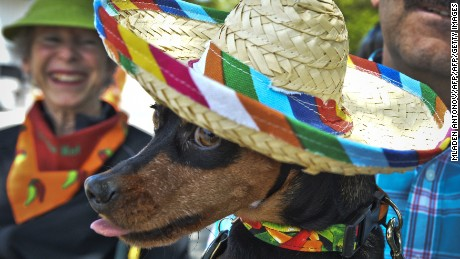 "A Chihuahua wearing a sombrero, poses during the 4th annual ""Running of the Chihuahuas"" in Washington, DC on May 3, 2015. The annual Chihuahua event marks the Mexican holiday Cinco de Mayo celebrated on May 5th.  AFP PHOTO/MLADEN ANTONOV        (Photo credit should read MLADEN ANTONOV/AFP/Getty Images)"