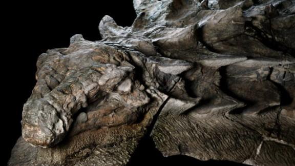 Fossilized nodosaur found in Alberta, Canada