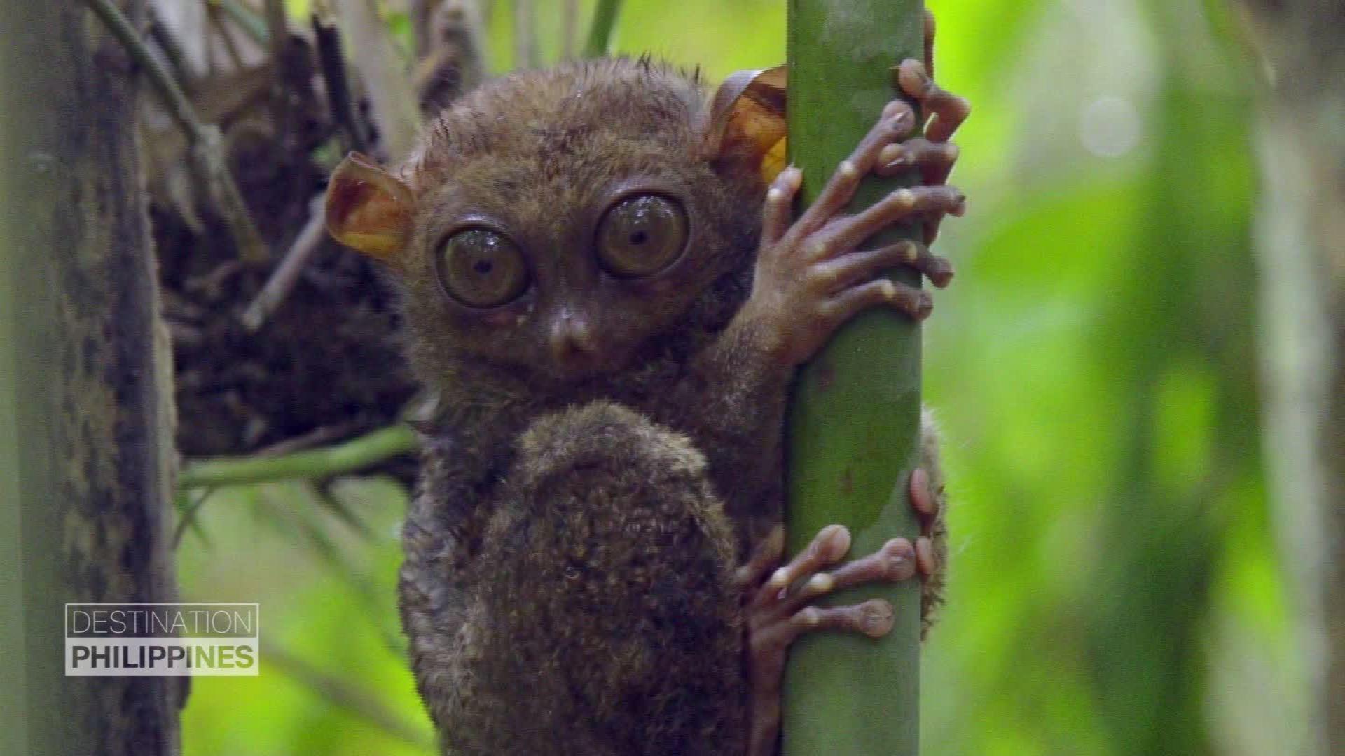 Philippine tarsier: World\'s second-smallest primate | CNN Travel