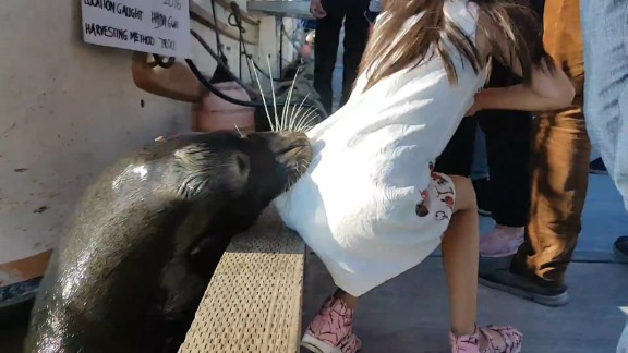 Sea lion drags girl into wharf orig vstan dlewis_00000000.jpg