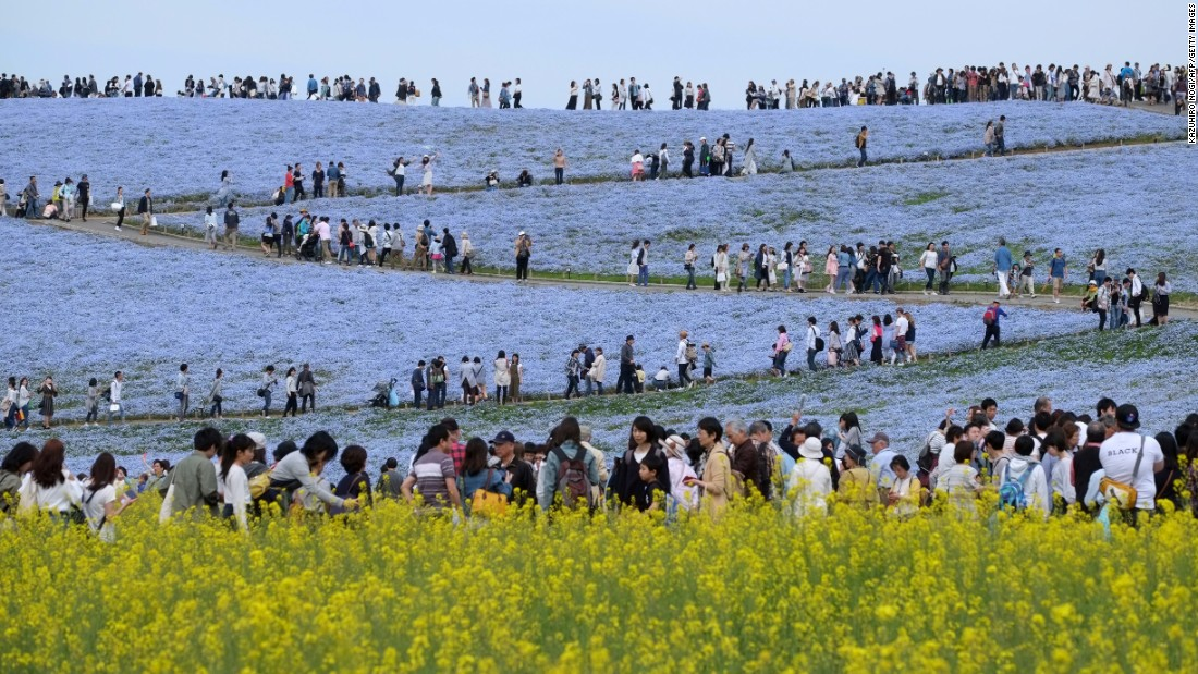 <strong>Hitachinaka, Japan: </strong>Visitors enjoy the display of nemophila flowers at Hitachi Seaside Park in Ibaraki Prefecture. An estimated 4.5 million of the flowers bloom here during April and May.
