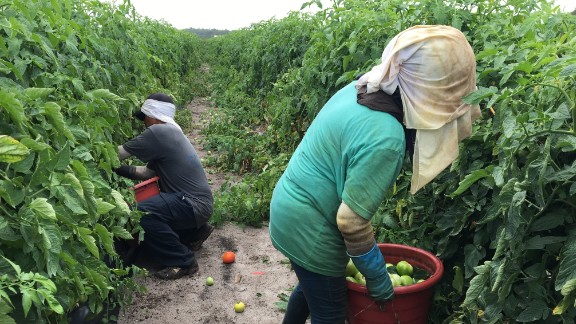 Workers pick tomatoes on a farm in Immokalee, Florida.