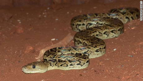 Wait, what? Scientist discovers snakes that hunt in packs