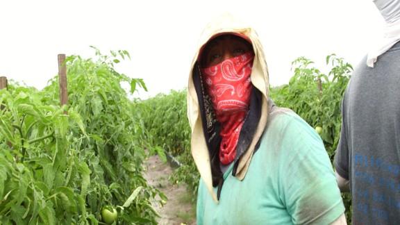 Alejandrina Carrera working on a tomato farm in Immakolee, Florida.
