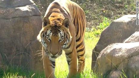 Killing tigers in India is allowed only with approval from authorities.