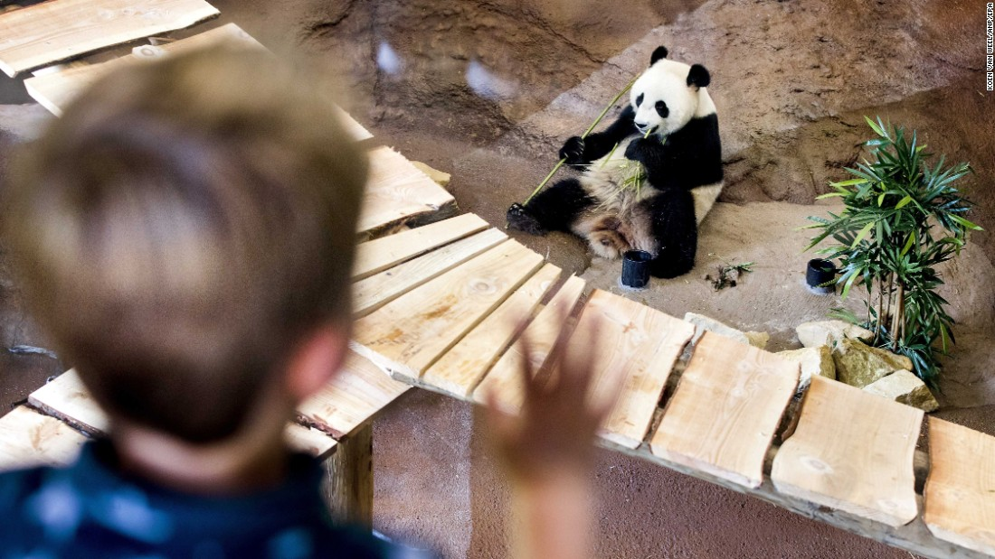 A zoo visitor watches a panda eat in Rhenen, Netherlands, on Wednesday, Nay 31.