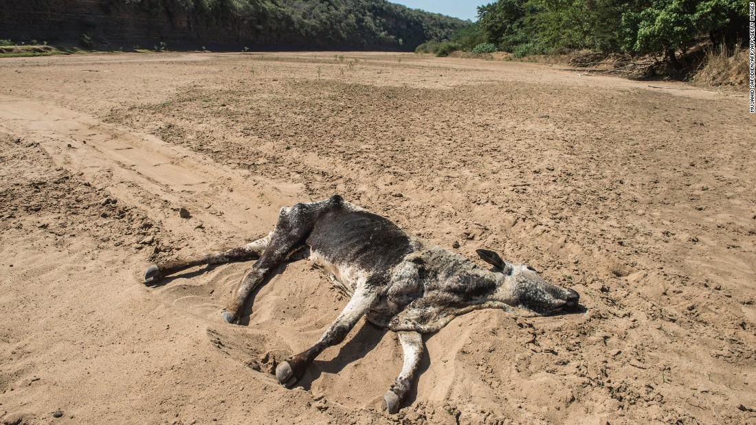 The carcass of a dead cow lies in the Black Umfolozi River, dry from the effects of a severe drought, in Nongoma district north west from Durban, in November 2015. South Africa ranks as the 30th driest country in the world and is considered a water-scarce region. A highly variable climate causes uneven distribution of rainfall, making droughts even more extreme.
