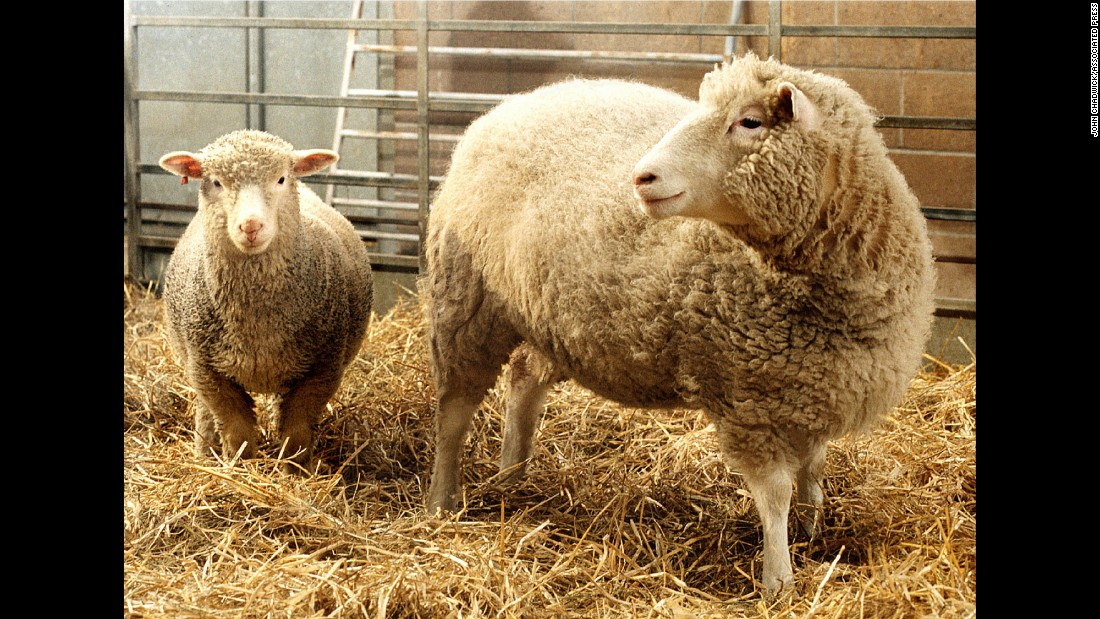 Science fiction became reality in December 1997, when scientists at Scotland's Roslin Institute introduced the world to Dolly, the world's first cloned sheep produced from an adult cell. Dolly proved that it was possible to create an exact genetic copy of an animal from one of their specialized cells -- in this case, a mammary gland cell.