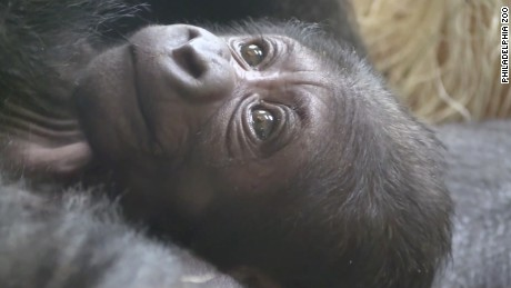The baby western lowland gorilla was born at the Philadelphia Zoo on Friday.