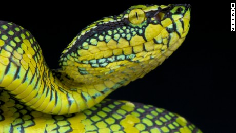 Venom from Tropidolaemus wagleri played a key role in an experimental antiplatelet drug.