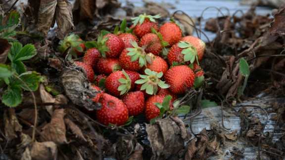 Strawberries lost due to a fungus that experts report is caused by climate change in La Tigra, Honduras, in September 2016.   According to Germanwatch