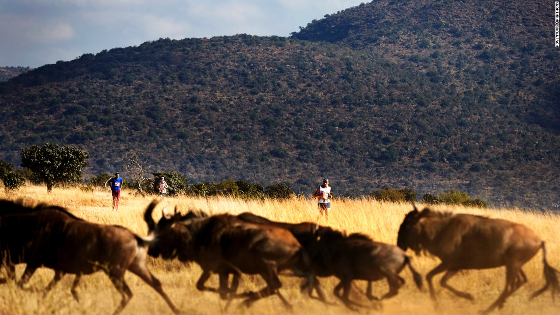 "There's nothing separating runners from the wildlife, which includes the ""Big Five"" African game: elephants, rhinos, buffaloes (pictured), lions, and leopards."
