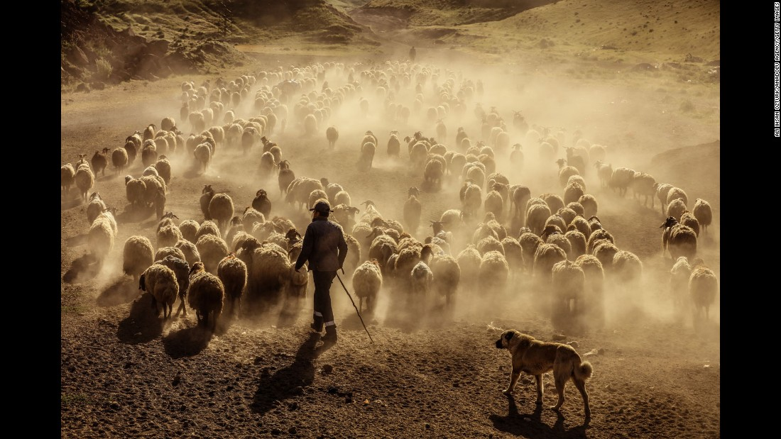 Sheep are led through the tablelands of Mount Nemrut in Bitlis, Turkey, on Monday, June 12.