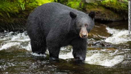 An estimated 100,000 black bears live in Alaska.