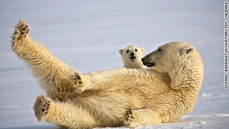 Human-polar bear conflict is on the rise