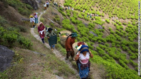 Women carry plucked tea leaves through the Darjeeling hills.