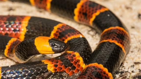 Eastern Coral Snake.