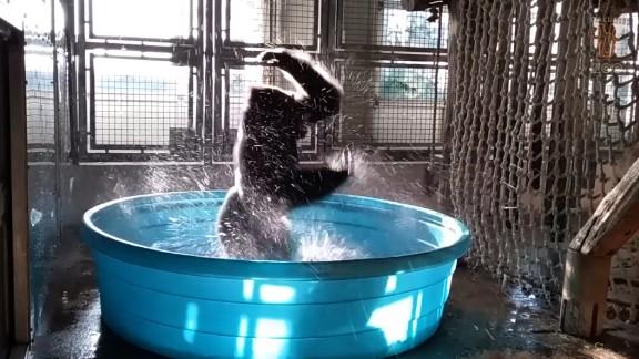 "Dallas Zoo video show Western Lowland gorilla Zola ""dancing"" in a pool."