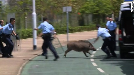 "Police trying to capture and boar in Hong Kong's financial district in 201<div class=""e3lan e3lan-in-post1""><script async src=""//pagead2.googlesyndication.com/pagead/js/adsbygoogle.js""></script>