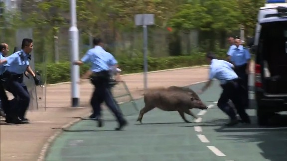 Police trying to capture a boar in Hong Kong's financial district in 2017.