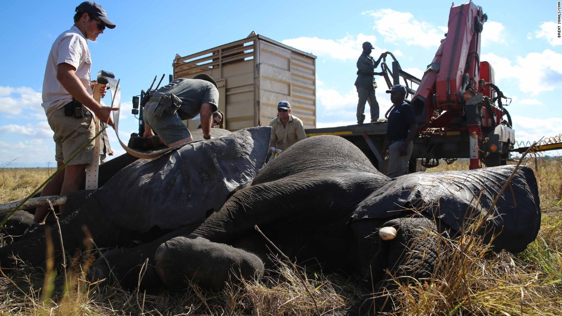 The team prepares two elephants for transfer. By waking the elephants in the field, inside a specially-designed crate, the team reduces the amount of drugs they must be given.