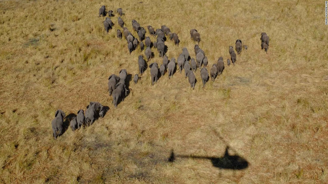 Their conservation efforts have been so successful that there are now too many elephants in the park, placing a strain on its limited resources.