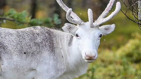 A reindeer in Sweden.
