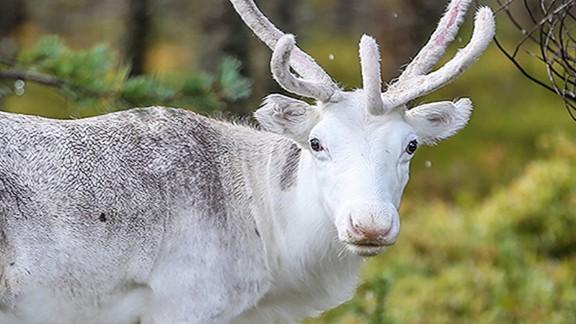 A reindeer in Sweden.