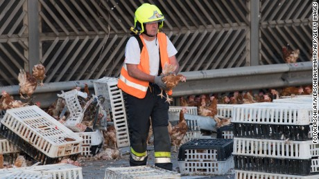 Firemen remove chicken and transport boxes from the highway.