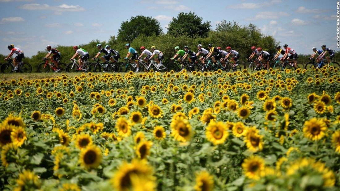 The pack rides past a sunflower field during the 207.5 km fourth stage of the Tour between Mondorf-les-Bains and Vittel.