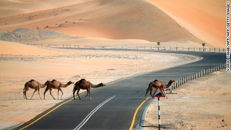 Camels cross a road during the Mazayin Dhafra Camel Festival in the desert near the city of Madinat Zayed, 150 kms west of Abu Dhabi, on December 26, 2015. The festival, which attracts participants from around the Gulf region, includes a camel beauty contest, a display of UAE handcrafts and other activities aimed at promoting the country's folklore.  / AFP / KARIM SAHIB        (Photo credit should read KARIM SAHIB/AFP/Getty Images)