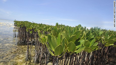 Sea tolerant plants like mangroves will feature in the Abu Dhabi project.