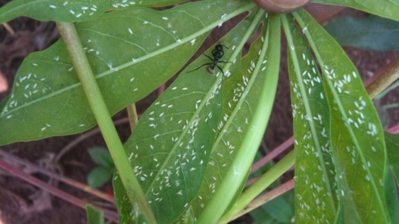CBSD is carried by the whitefly, which has infested the region in large numbers.   Diseases carried by the insect destroy more than $1 billion worth of cassava each year in Sub-Saharan Africa, including areas where the vegetable is the main staple food.
