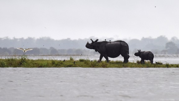 Indian one-horn rhinoceros take shelter from flood waters on higher land at Kaziranga National Park, about 250 kilometres east of Guwahati, on July 10, 2017.