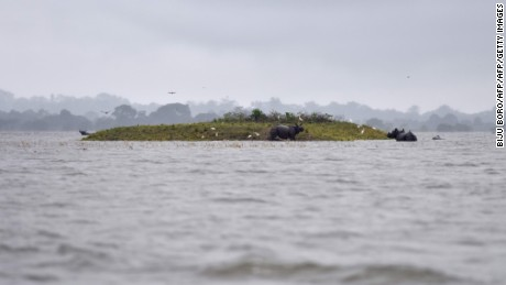 Indian one-horn rhinoceros take shelter from flood waters on higher land at Kaziranga National Park.
