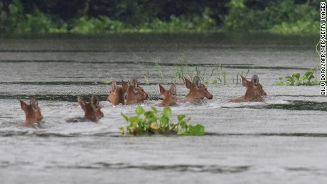 A herd of Indian hog deer swims through flood waters at Kaziranga National Park.