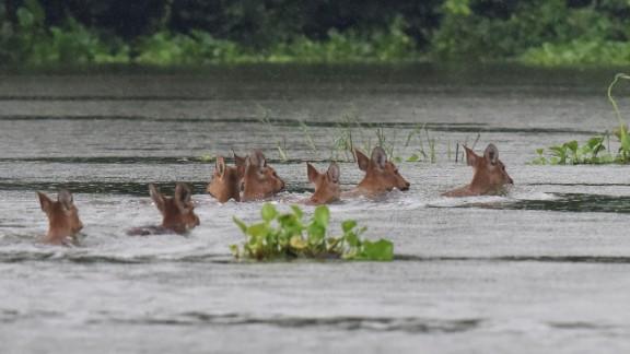 A herd of Indian hog deer swims through flood waters at Kaziranga National Park.
